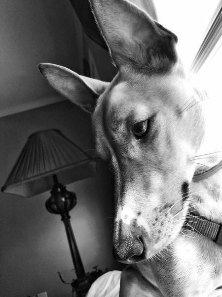 Jack Flint! Introspection. Jackrussellterrier Jackrussellsofinstagram Jackrusselllove Jackrussell Pets