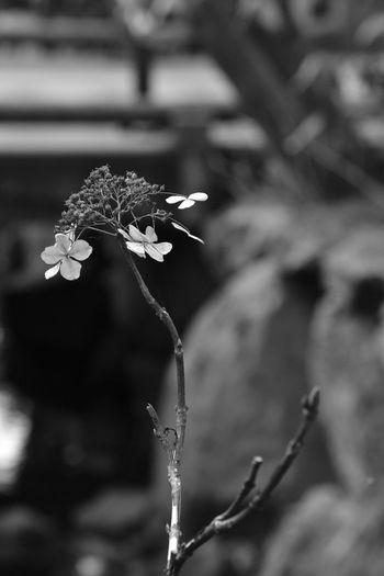 Black-and-white Monochrome B&w Kamakura Flowers Withered Hydrangea