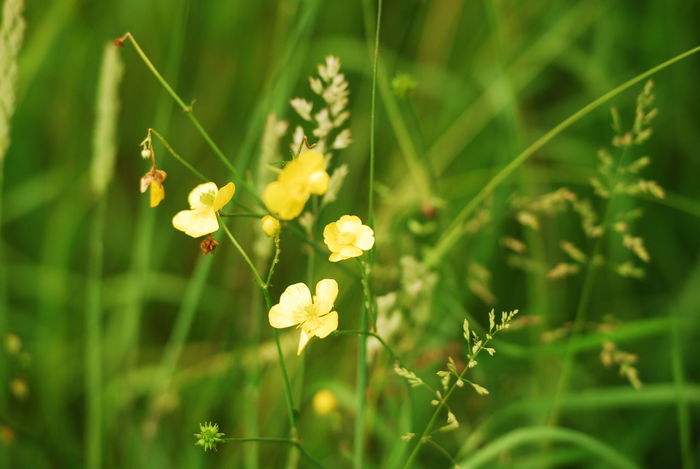 Wildflowers Wild Grasses Bulbous Buttercups Creeping Buttercups Wild Meadow Meadow Grass Great Outdoors Outdoor Photography Nikon Photographer Eyeem Collection