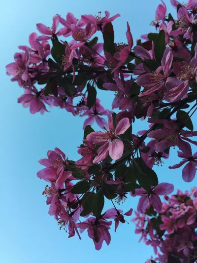 Crab apple blossoms Flowering Tree Crab Apple Tree Pink Flower Flowers IPS2015Flowers