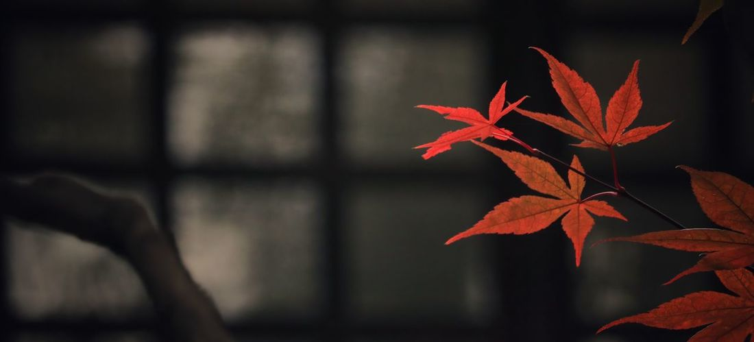 Change Red Red Leaves Japan Japan Photography Japanese Garden Japanese Style Japanese Maple Japanese Photography EyeEm Best Shots EyeEm Nature Lover EyeEm Gallery EyeEmBestPics EyeEm Best Shots - Nature Nature Nature_collection Nature Photography 暗がりクラブ Eyeem4photography Leaf Autumn Maple Leaf Beauty Red Change Black Background Arts Culture And Entertainment Close-up Autumn Collection Leaves Fall Maple Maple Tree Growing Leaf Vein Blooming Plant Life