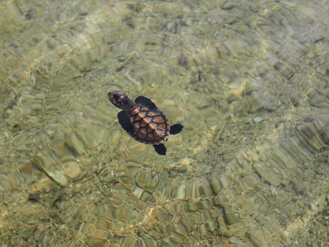 Sea Turtle baby turtle Palawan Philippines Hatchling Animal