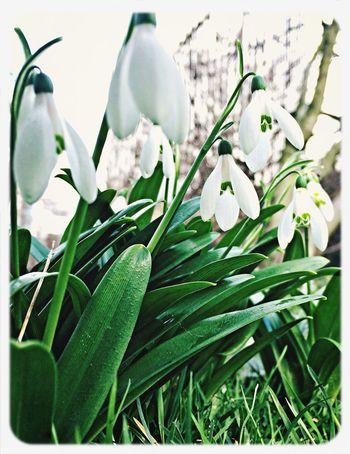 Snowdrops Flowers Garden Brussels