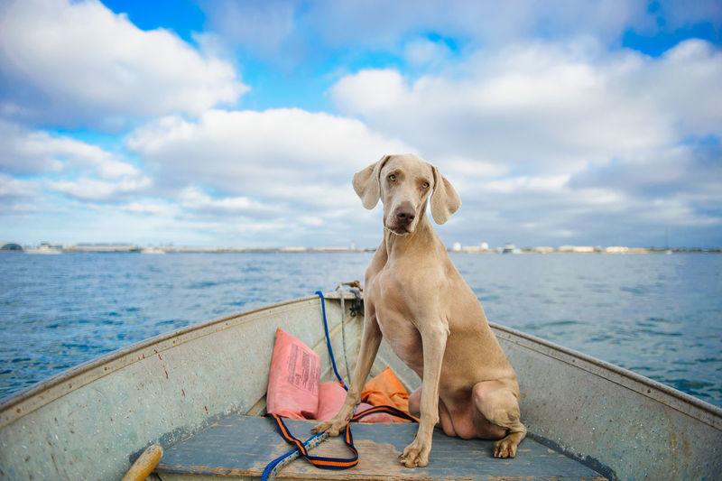 Weimaraner in boat on sea against sky
