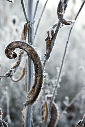Close-up of frozen plant during winter