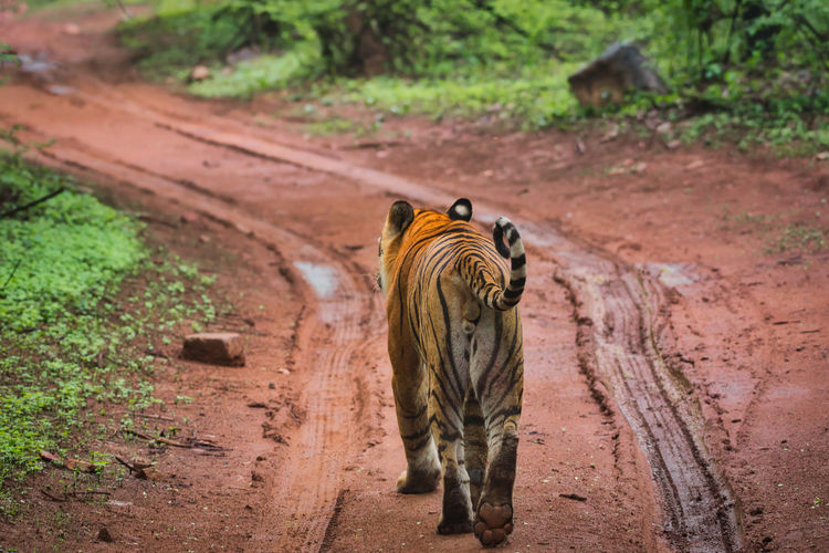 Rear view of tiger walking in the ranthambhore national park