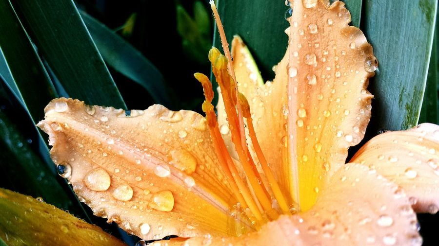 Close-up Water Nature No People Day Outdoors Fragility Beauty In Nature Freshness Animal Themes Lilies Lilies In Bloom Daylilys Daylily