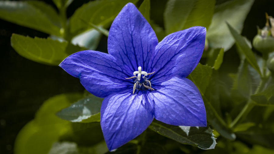 Close-up of purple blue flower
