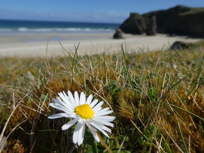 Daisy at Garry Beach, Isle of Lewis Beach Daisy Flower Daisy Garry Beach Isle Of Lewis Outer Hebrides VisitScotland Scotland Plant Beauty In Nature Flower Flowering Plant Freshness Growth Vulnerability  Fragility Nature Land Focus On Foreground Sea White Color Petal Close-up Water Inflorescence Flower Head Beach No People My Best Photo