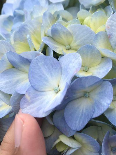 Blue hydrangea - Cinderella type. Hygrangea Blue Flowering Plant Flower Freshness Plant Beauty In Nature Close-up Vulnerability  Nature