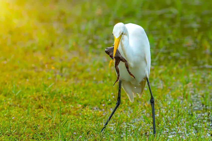 Egret catches frogs in the meadow. Feeding Animals Frog Green Heron Bird Reflection Animal Themes Animal Wildlife Animals In The Wild Beak Bird Close-up Day Egret Egretta Feather  Focus On Foreground Grass Hunting Nature No People One Animal Outdoor Outdoors White Color Wildlife