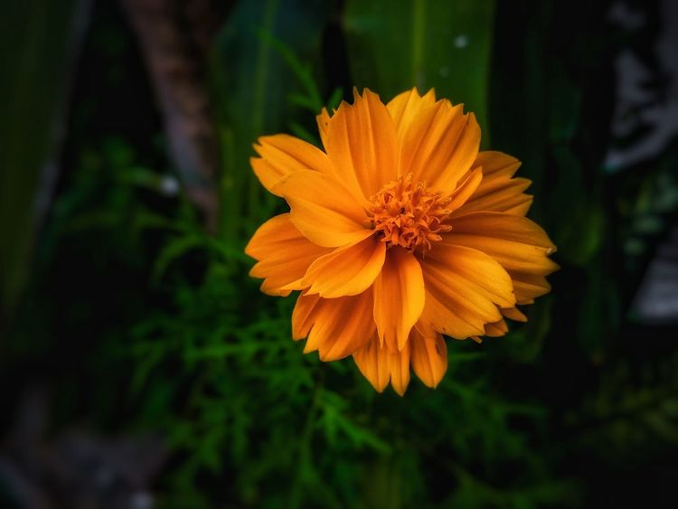 """""""Simply Lost..."""" Flower Nature Beauty In Nature Petal Flower Head Fragility Plant Outdoors Beauty Freshness Close-up Day Growth No People Tranquility Nature Reserve Zinnia  Orange Color Orange Flower Orange Orange Colour"""