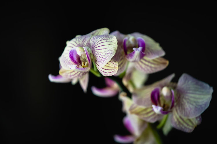 Orchid Beauty In Nature Black Background Close-up Copy Space Flower Flower Head Flowering Plant Focus On Foreground Fragility Freshness Growth Indoors  Inflorescence Nature No People Petal Phaelanopsis Plant Pollen Purple Selective Focus Studio Shot Vulnerability