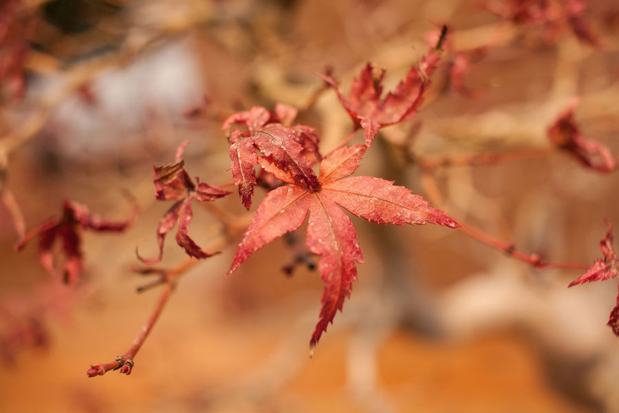Autumn Bonsai Tree Branch Change Close-up Dry Focus On Foreground Fragility Leaf Maple Maple Leaf Nature No People Red
