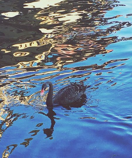 Swan Black Swan Black Swan On Water River Reflections Reflections In The Water Reflection Of The Bridge Beauty In Nature Beautiful Day EyeEm Nature Lover Eye4photography  EyeEm Gallery