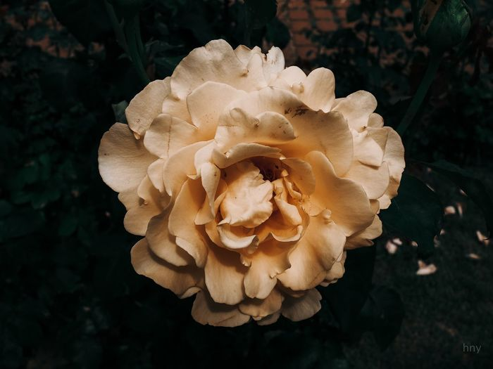 Close-up of wilted rose in bloom