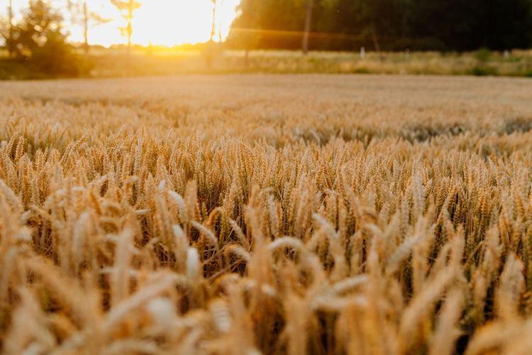 Scenic shot of wheat field