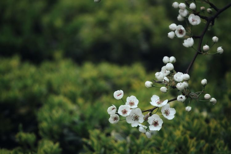 Plant Flower Flowering Plant Freshness Beauty In Nature Fragility Nature Growth White Color Vulnerability  Tree Blossom Springtime Focus On Foreground Flower Head Close-up Inflorescence Day No People Food
