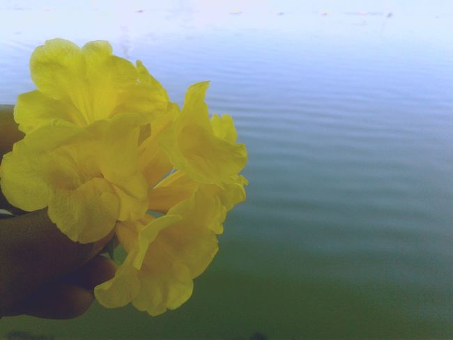 Nature Water Yellow Flower Beauty In Nature No People Outdoors