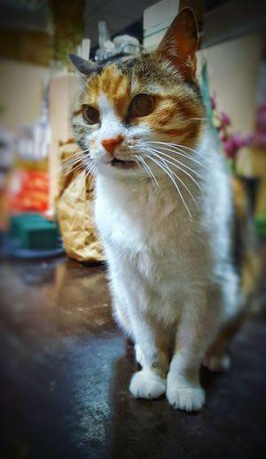 One Animal Domestic Cat Pets Feline Miauuu 😺