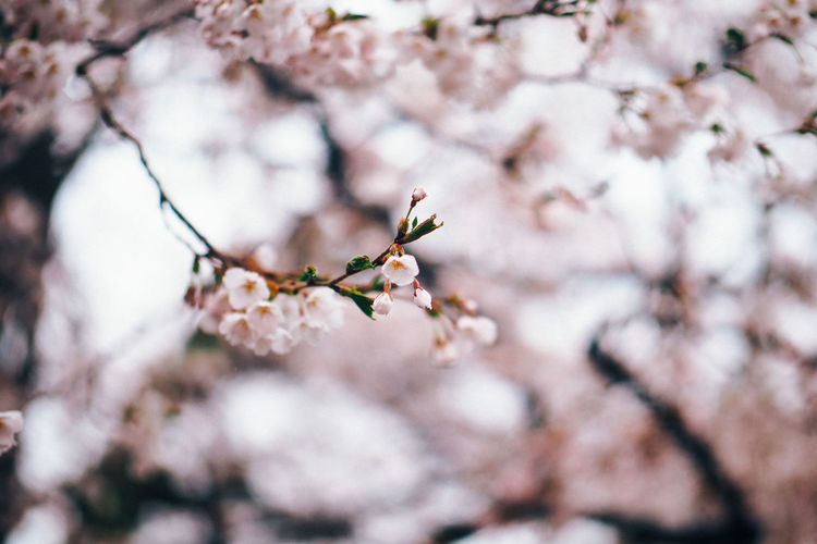 Hirosaki, Aomori, 2015 Aomori Cherry Blossoms Cherry Tree Close-up Flower Growth In Bloom Japan Sakura Ultimate Japan
