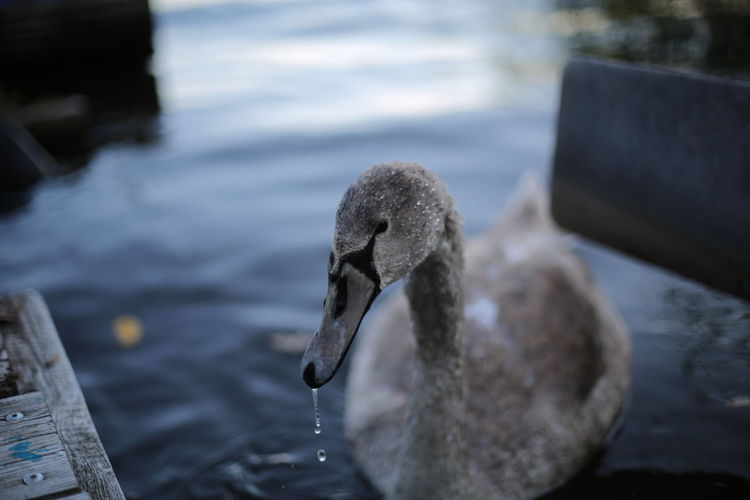 Close-up of swan in sea