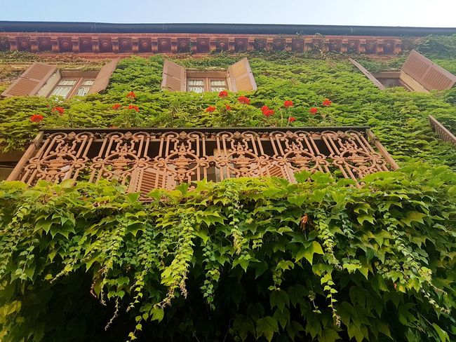 Agriculture Growth Crop  Field Farm Rural Scene Green Color Outdoors Plant Cultivated Day Tree Winemaking Nature No People Food Vine - Plant FreshnessTextured Effect Old House Langhe Italy Alta Langa Textures And Surfaces Ivy Growth