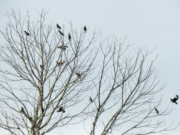 Jalak Bird Myna Tree Nature No People Bare Tree Flying Branch Sky Outdoors Flock Of Birds Large Group Of Animals Day Beauty In Nature