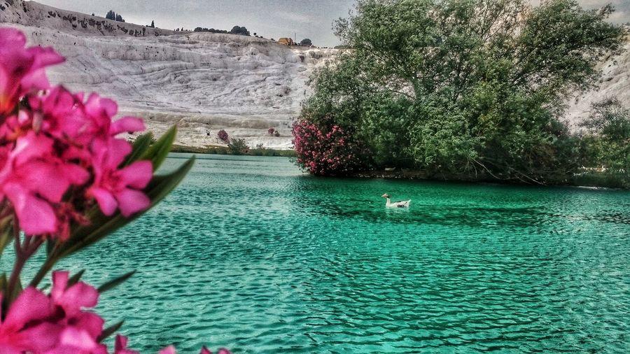 Pamukkale/Turkey Pamukkaletravertenleri Nature Flower Beauty In Nature Water Sony Xperia Z2 Pamukkale Travertenleri Ordek Duck