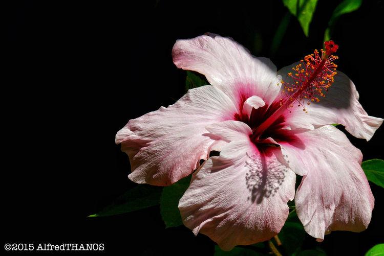 hibiscus rosa-sinensis Nature Leicaindonesia Leicacraft Leica