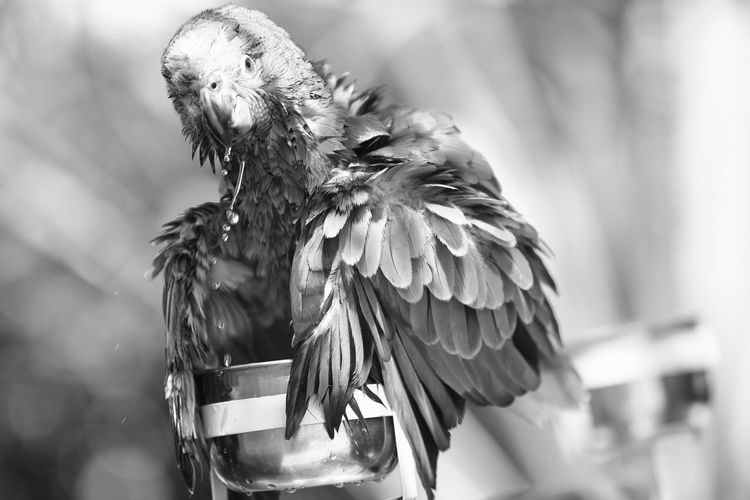 Blue fronted Amazone. Parrot Love Parrot Bluefrontedamazon Amazon Parrot Birds Bird Photography Bird Photography Photoshoot Black&white