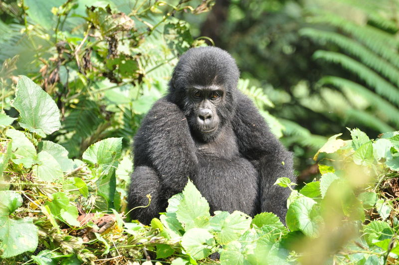 Relaxed gorilla sitting amid leaves