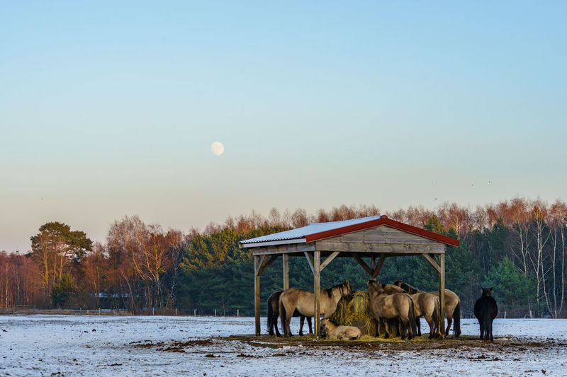Horses on snow covered field against sky during sunset