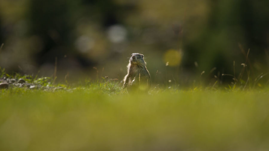 Animal Themes Animal Wildlife Animals In The Wild Close-up Day Grass Green Color Marmot Marmotte Mountain Animal Nature No People One Animal Outdoors Selective Focus