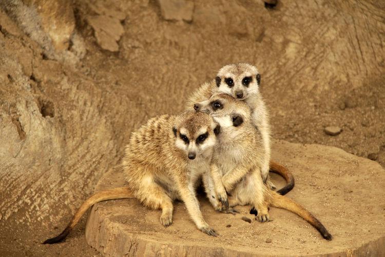 Meerkats sitting on land