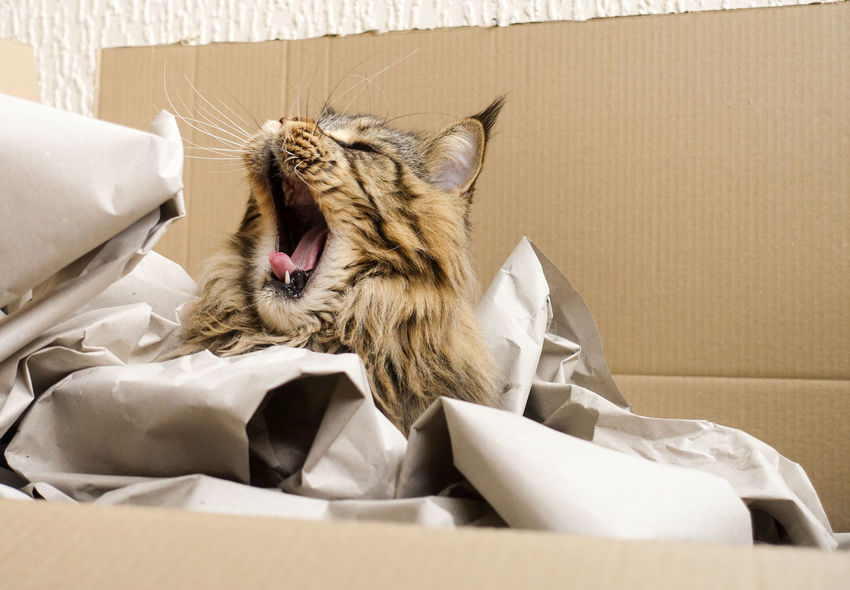 Brown Tabby Maine Coon Cat Yawning Black Tabby Black Tabby Cat Maine Coon Cat Animal Animal Head  Brown Tabby Cardboard Box Cat Domestic Ear Tufts Facial Expression Feline Indoors  Lynx Tips Maine Coon Mammal Mouth Mouth Open No People One Animal Pets Relaxation Whisker Yawning Yawning Cat