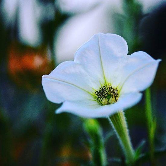 2nd Last Pic of the Macro series Macro Nikonphotography D7200 India Nature Photography Iamnikon Iamexclusive Iamshutterbug Pushpamverma Flower