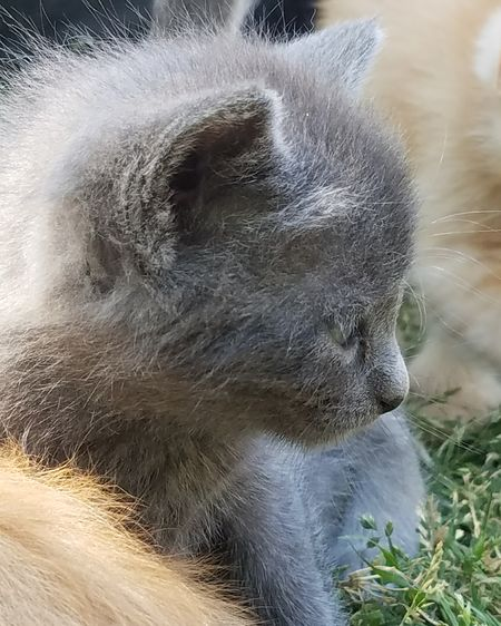 Gray Kitten Domestic Cat Pets Feline Cute Pets Kitten Love Baby Animals Kitten Young Animal Domestic Animals Close-up Kittens Pet Cat Cats Animal Themes One Animal