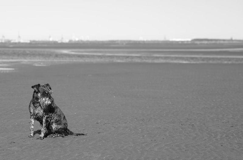 Schnauzer on the beach Schnauzer Schnauzers Schnauzerlove Dog Nudgeebeach Black And White Loyalty Animal Themes Pets Tranquil Scene Animals Animals Posing Beach Beach Photography Beach Life Dog Portrait