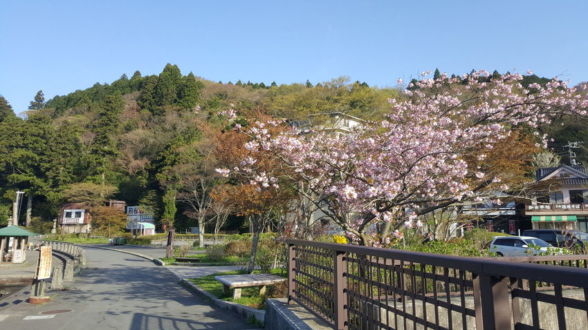Peaceful Garden Nature Photography Nature Nature_collection Petals🌸 Petals Cherry Blossoms Cherry Blossom Cherryblossom Petal Sakura2016 Sakura Trees Sakura Blossom Sakura Garden Photography Japan Scenery Japanese  Japan Japan Photography Hakone Japan Hakone Japanese Garden Natural Photography Clear Blue Sky