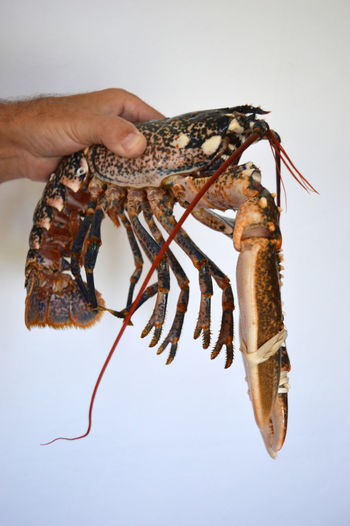 Close-up of a hand holding crab over white background