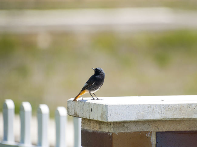 Adapted To The City Animal Portrait Animal Themes Animal Wildlife Animals In The Wild Bird Black Redstart Close-up Day Focus On Foreground Nature No People One Animal Outdoors Perching Perching Bird Phoenicurus Phoenicurus Ochruros Portrait Railing Redstart Retaining Wall Urban Birds Wildlife