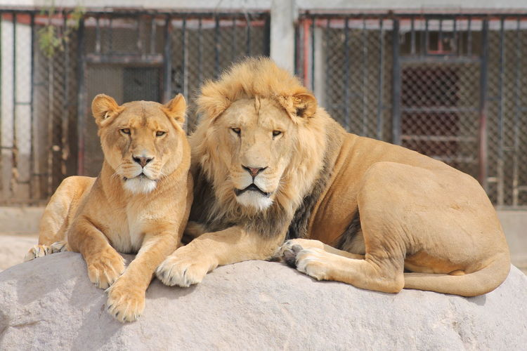 Portrait of lion family relaxing on rock