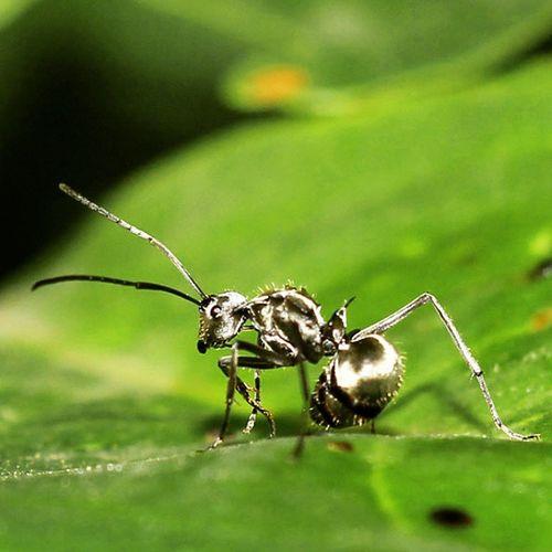 Hitam mengkilap. Ants Ant Semut Semuthitam closeup macro