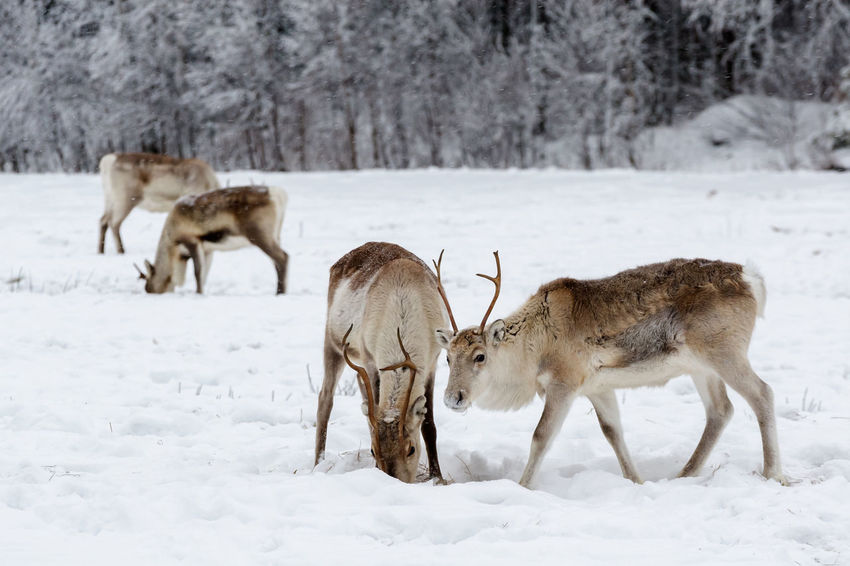 Group of reindeer grazing on a snow covered field in December. Feeding Animals Looking At Camera Reindeer Animal Themes Animals In The Wild Antlers Beauty In Nature Cold Temperature Curious Day Field Grazing Animals Group Of Animals Mammal Nature No People Northern Finland Outdoors Snow Weather White Color Winter