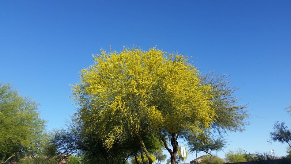 Tree and blue sky Yellow Clear Sky Tree Low Angle View Nature No People Sky Beauty In Nature Outdoors Day