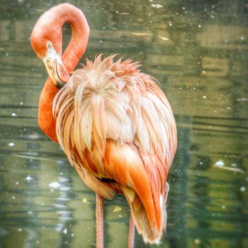 One Animal Water Flamingo Bird Animals In The Wild Lake Animal Themes Animal Wildlife No People Day Outdoors Nature Close-up Pink Animal Oiseaux Oiseau Zoo Nature