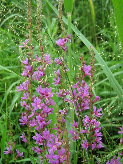 Purple Nature Plant Flower Beauty In Nature Fragility Growth Green Color Outdoors Freshness Blooming Close-up Field Flower Head No People Day Lythrum Salicaria Summer Russia Meadow Meadow Flowers Far East