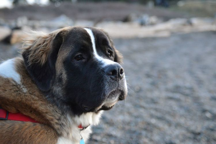 This St. Bernard is so sweet! She takes care of everyone. Her name is Greta. St Bernard Dogs Dogs Of EyeEm Sweet Heart Love Dog Pets One Animal Outdoors Mammal Sand Beach Day No People Portrait Beauty Close-up