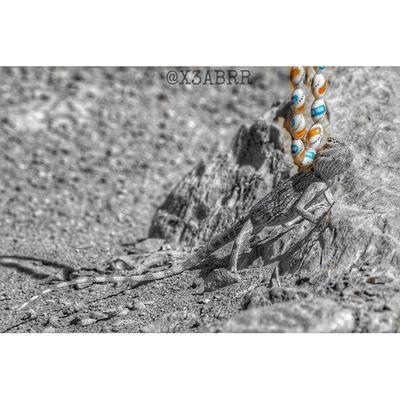اللحظة الحاسمة بعدها انتهى التحدي 😀😕 صباح الخير @glock999 🔗 سبحة مسبحة Goodmorning photographys 😀 landscape desert lizard reptiles حيوانات تصويري صحراء القصيم مقطع لقطة السعودية سحلية سحالي زواحف ksa sonyalpha animal animals nature lizards saudiarabia instareptiles reptiles instaanimal colorsplash عزل_لوني